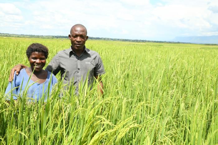 Finding new ways to promote sustainable rice cultivation in covid-19 times