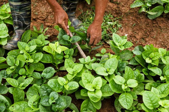 A win-win for consumers and farmers:  PGS safe vegetables in Hanoi