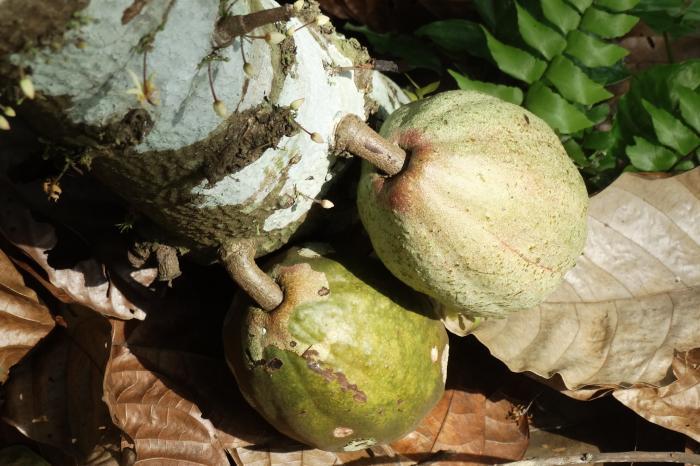 Consultoría de comunicación para el Programa de Cacao de Rikolto en Honduras
