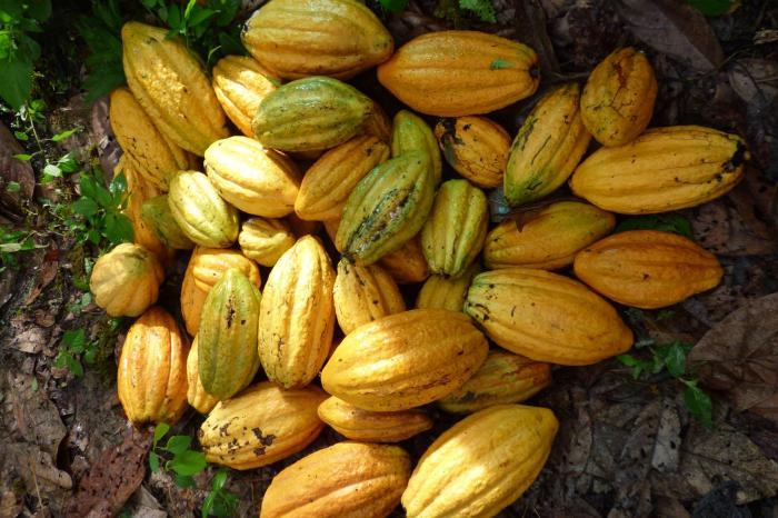 Guerra de clones: El cacao nativo rompe el molde en Pangoa