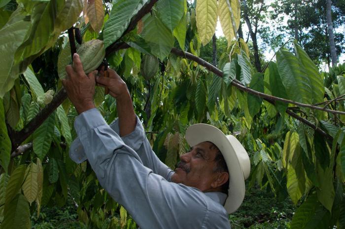 TDR Elaboración de Base de Datos Actores de la Cadena de Valor del Cacao en cuatro países.