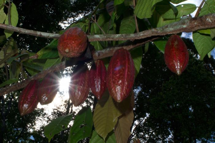 Con apoyo de la Cooperación Suiza, se analiza el sector cacaotero en América Central