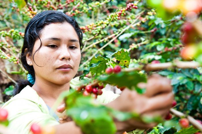 Rikolto y UTZ/Rainforest Alliance evaluan a cinco cooperativas de café en Honduras