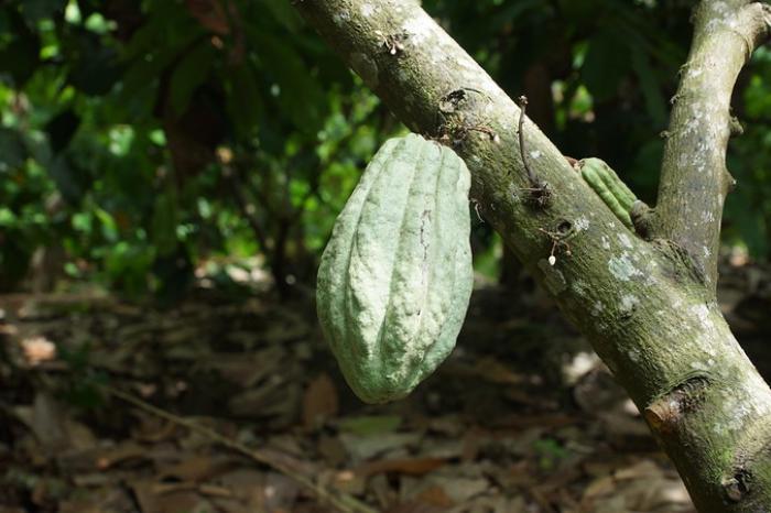 MOCCA y Jardín Azuayo financian renovación y rehabilitación en fincas de cacao