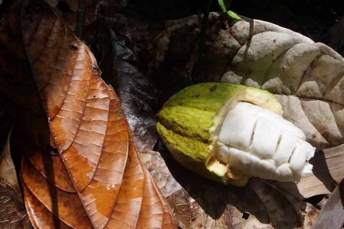 The hidden treasure among cocoa trees