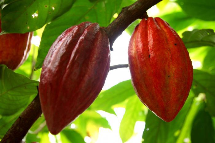 Uniformizando la calidad del cacao