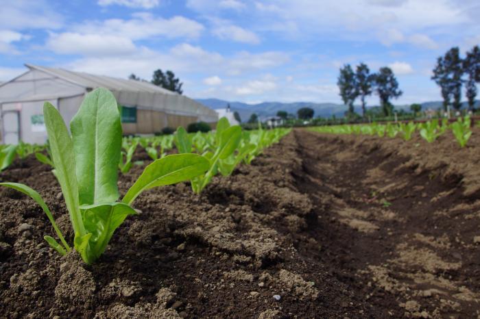 Más aprendizajes colectivos en hortalizas durante ECA en Guatemala