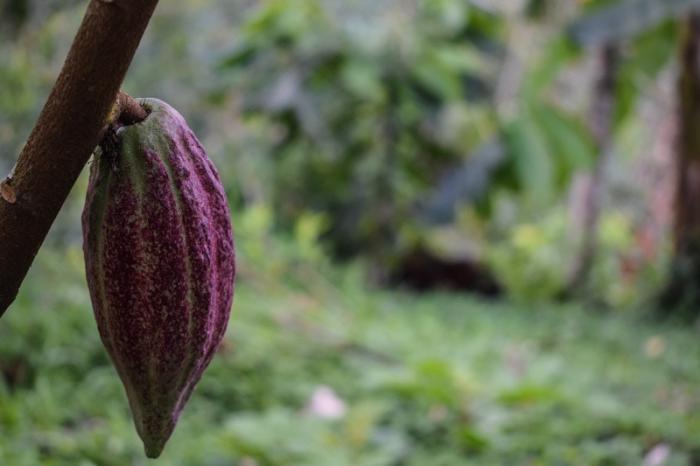 Guía: Raíces saludables para cacao, café, y otros perennes leñosos