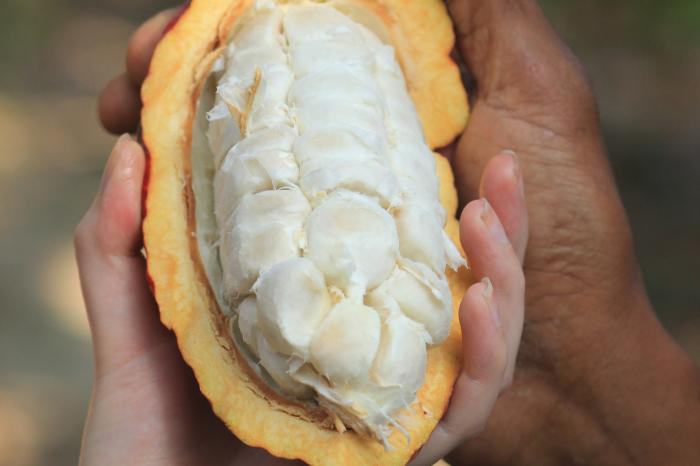 Exportación de cacao ecuatoriano se ve amenazada por altos niveles de cadmio