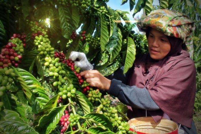 Food for Thought: Promoting Jambi's fine robusta
