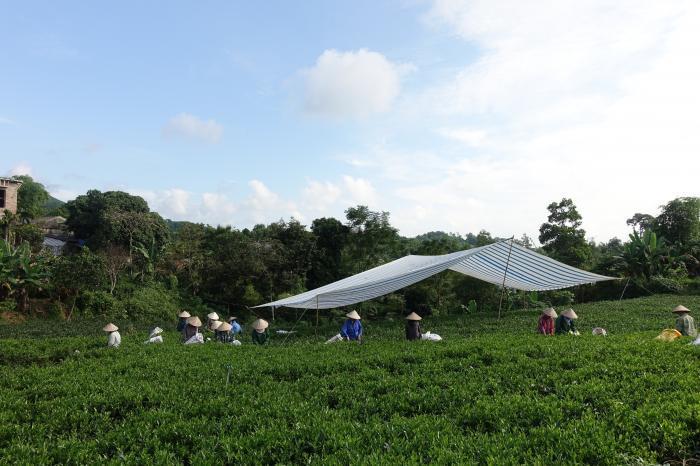 Thu nhập của nông hộ trồng chè tại các tỉnh phía bắc tăng 30% nhờ thực hành quản lý đất bền vững