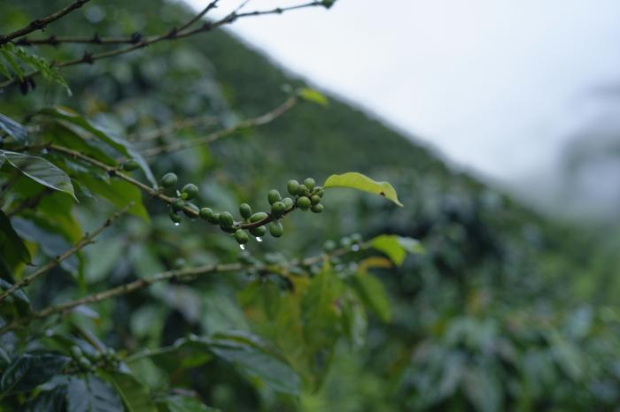 Mujer, café y resistencia emprendedora en Intag
