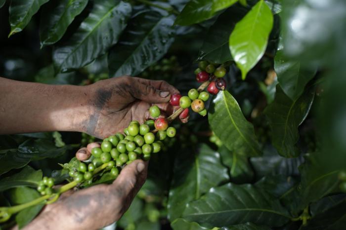 UNCAFÉ: conformando el gremio de caficultores del Ecuador