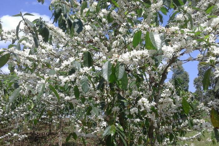 La vente des fleurs de café en Ituri: une pratique à bannir