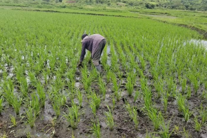 Professionnalisation de la riziculture au Tanganyika : le chemin parcouru à Kamangu
