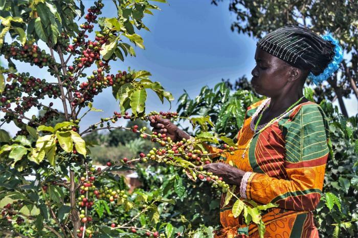 L'impact de la certification du café Arabica dans l'est de la RDC