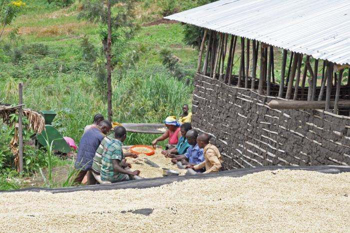 Side-selling in Eastern DRC's coffee sector
