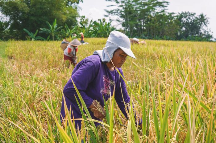 Reducing environmental impacts and improving rice farmers' livelihoods in Central Java
