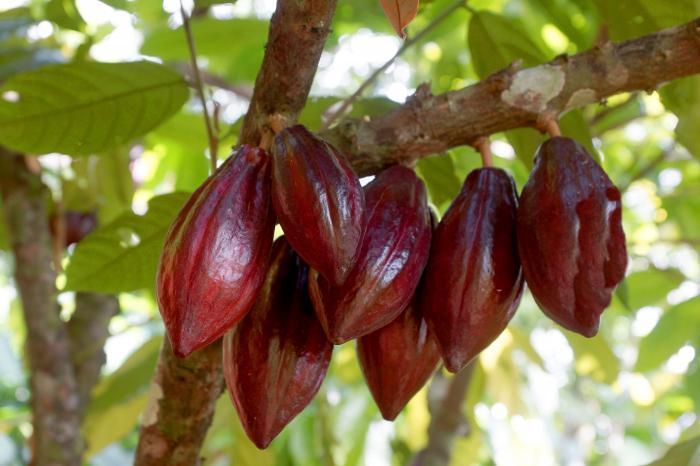 Una visión común para el sector cacaotero centroamericano