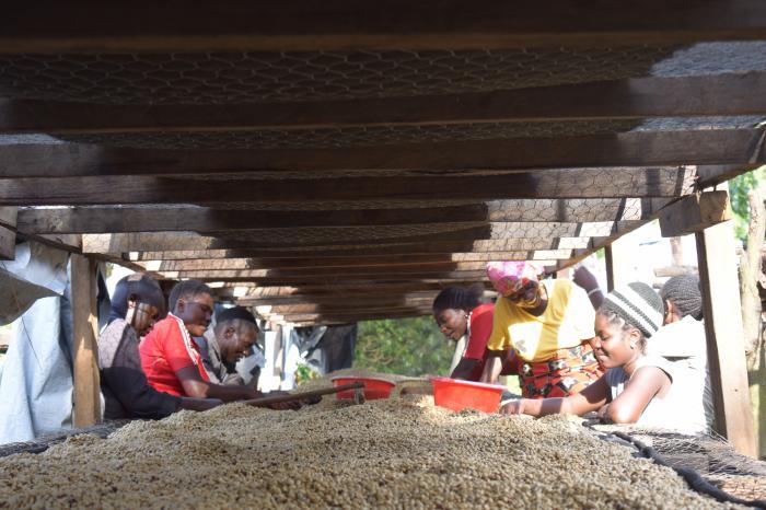 Activité hydrique : la lutte contre le vieillissement rapide du café s'organise