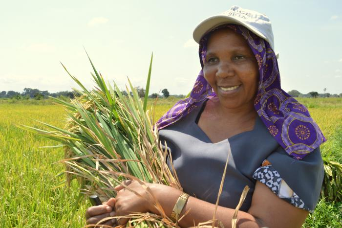 Experiments with System of Rice Intensification - Lower-Moshi, Tanzania