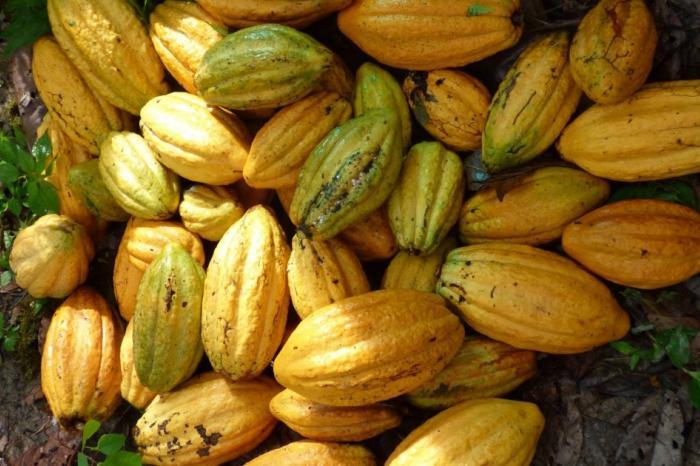 War of clones: Native cocoa breaks the mould in Pangoa