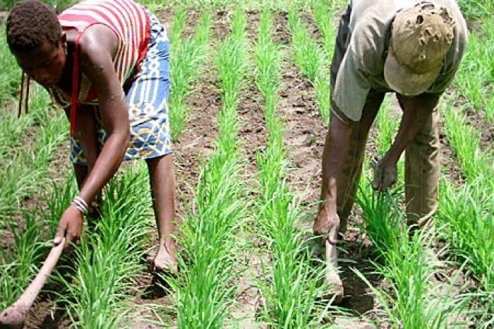 Colruyt en Vredeseilanden werken samen met rijstboeren in Benin