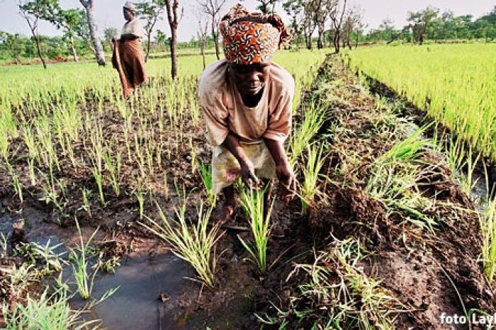 Nieuwe mogelijkheden voor rijstteelt in Benin