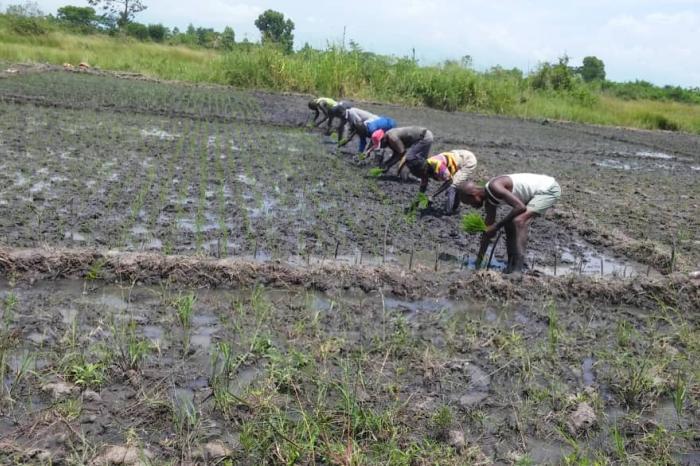 GIFS, allier engrais biologiques et minéraux dans la filière riz au Sud-Kivu