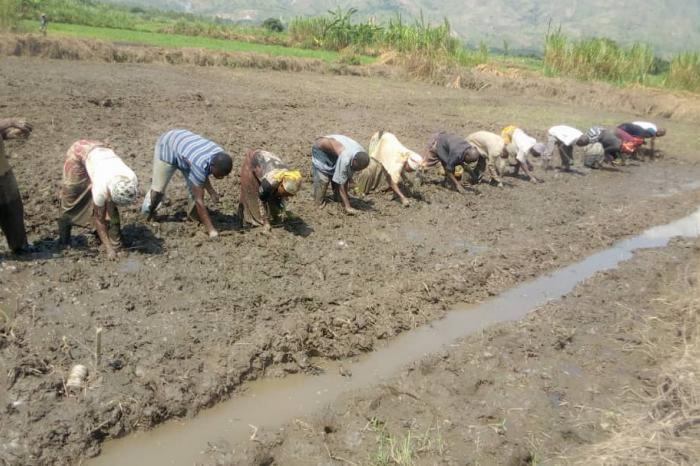 SRI : développer la riziculture durable au Sud-Kivu
