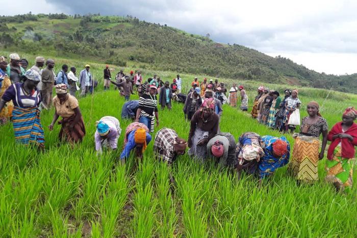 Nouvelles variétés, la voie du développement rizicole en territoire de Fizi