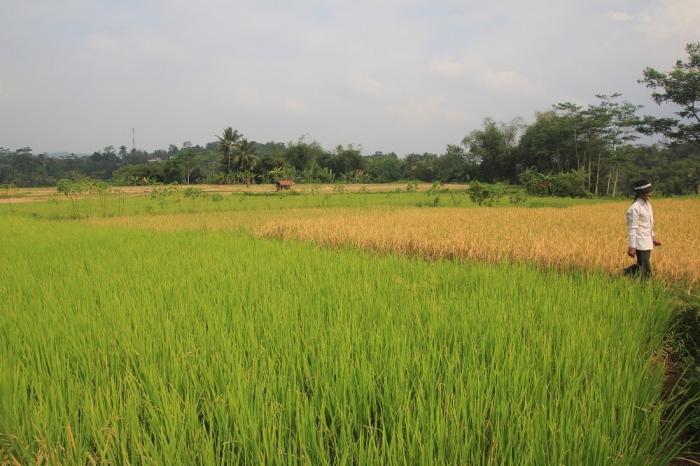 Amartapadi, Menguatkan Posisi Tawar Petani Padi Indonesia