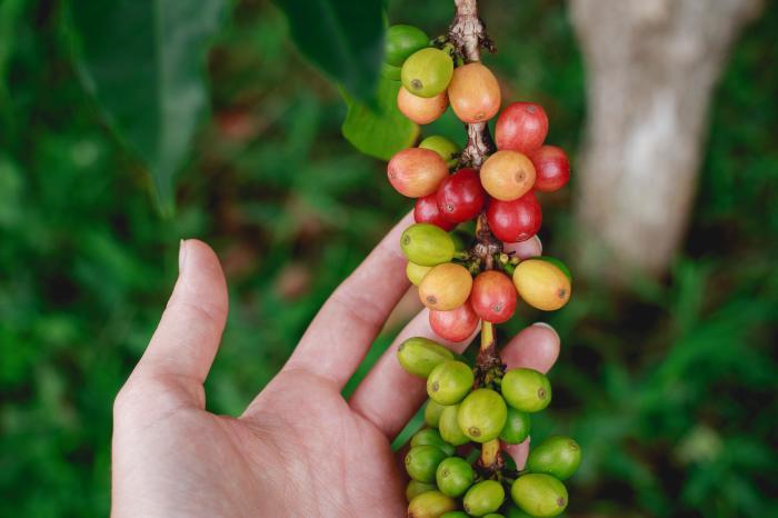 Nuevas alianzas para promover el desarrollo sostenible del sector cafetalero nicaragüense