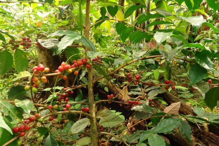 VECO Andino participa en plataforma internacional SCAN Perú para el desarrollo de la cadena sostenible de café