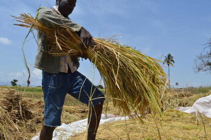 Waarom rijst een standaard voor duurzaamheid nodig heeft (zelfs al is er geen orang-oetan in het spel)