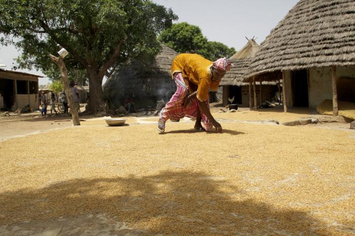 Production de semences de riz au Sénégal : les membres de la FEPROBA bénéficie de l'appui de VECO-WA pour un Sénégal autosuffisant en riz