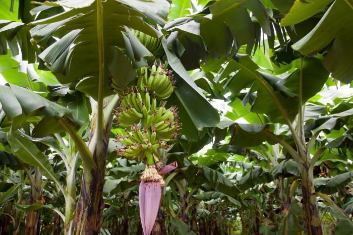Bananenboeren verenigen zich