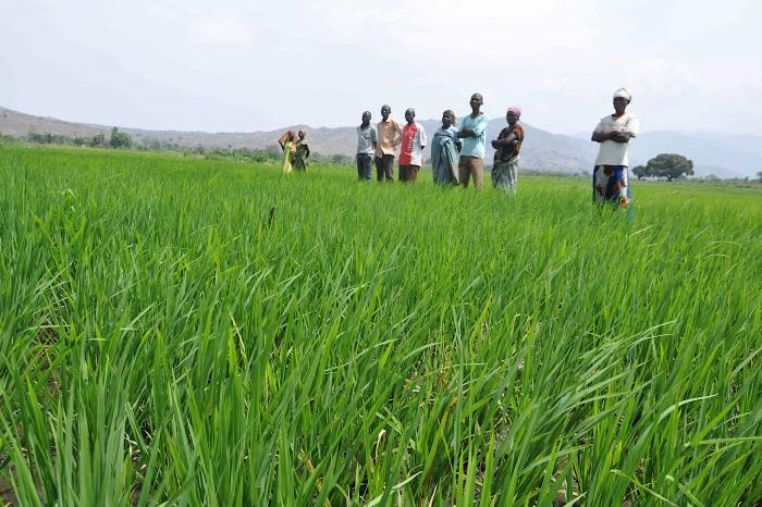 Rikolto conduit un pilote pour la plate-forme de riz durable dans la plaine de la Ruzizi
