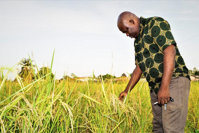 Sustainable rice cultivation in the Collines area of Benin