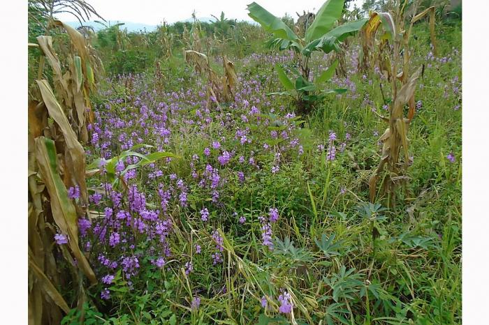 Le riz menacé au pied du Mt. Ruwenzori