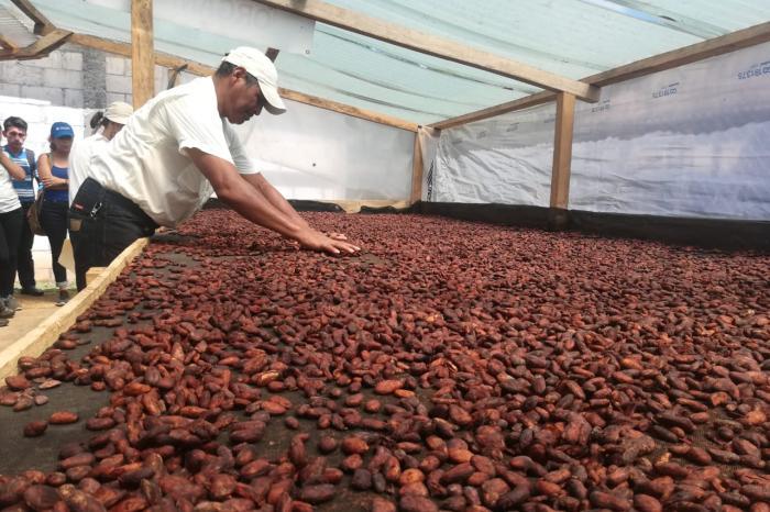 SAF de cacao serán monitoreados para mejorar su resiliencia