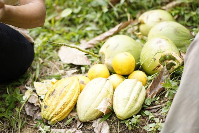 El tesoro escondido entre los cacaotales