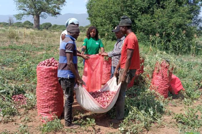 Growing onions is a rising business in Tanzania's Blue Mountains