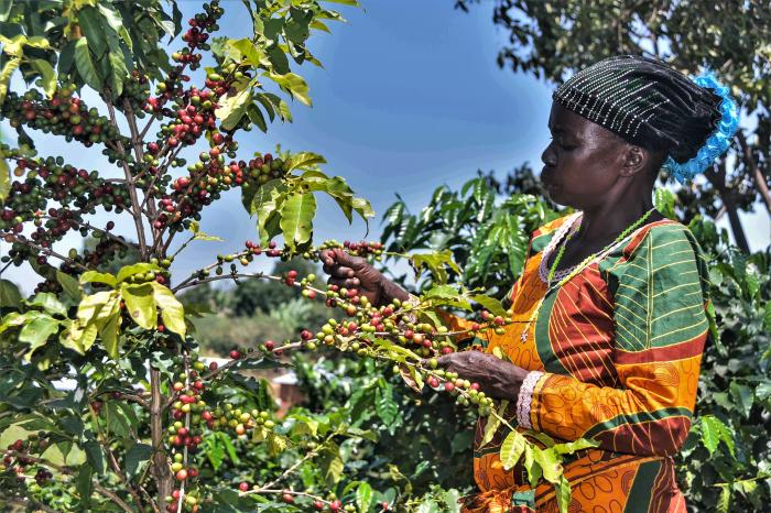 The impact of Arabica coffee certification in Eastern DRC