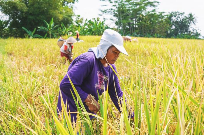 Reducing rice's environmental impacts and improving farmers' livelihoods in Central Java
