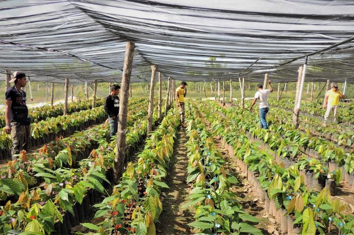 Centroamérica apuesta por cacao climáticamente inteligente