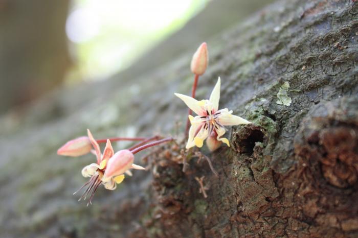 Cacao in de Noordwest Regio, Honduras