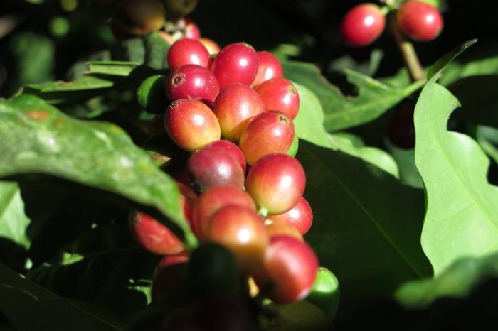 Ecuadorian coffee - adding flavour to the national economy