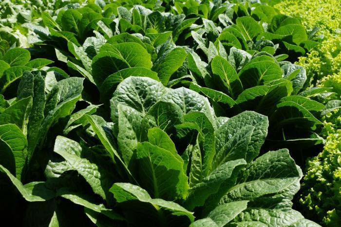 Producción de hortalizas en Jinotega, Nicaragua - COMPLETADO