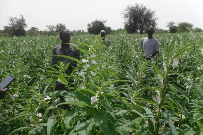 Securing access to quality sesame seeds in Senegal